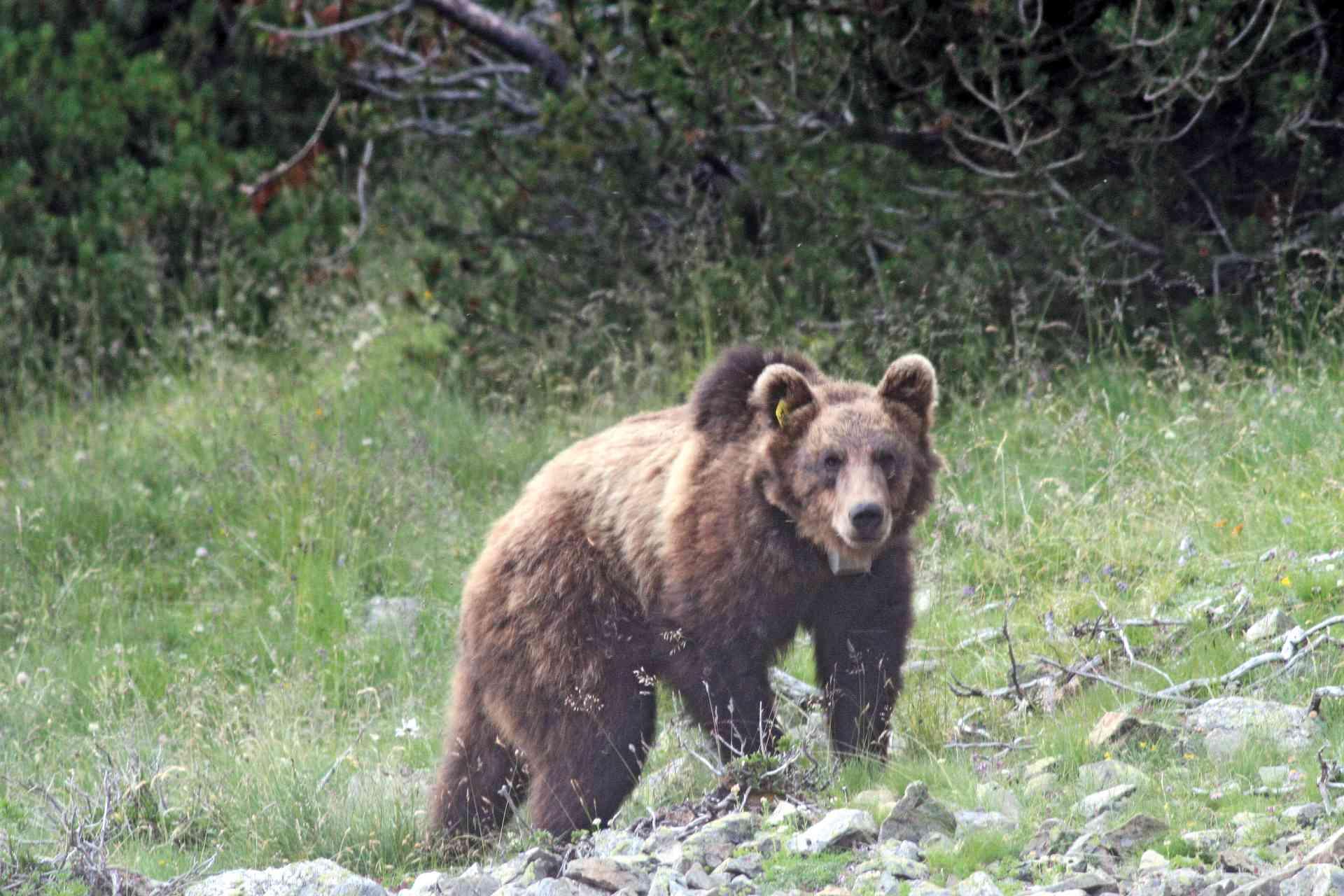 Braunbär01