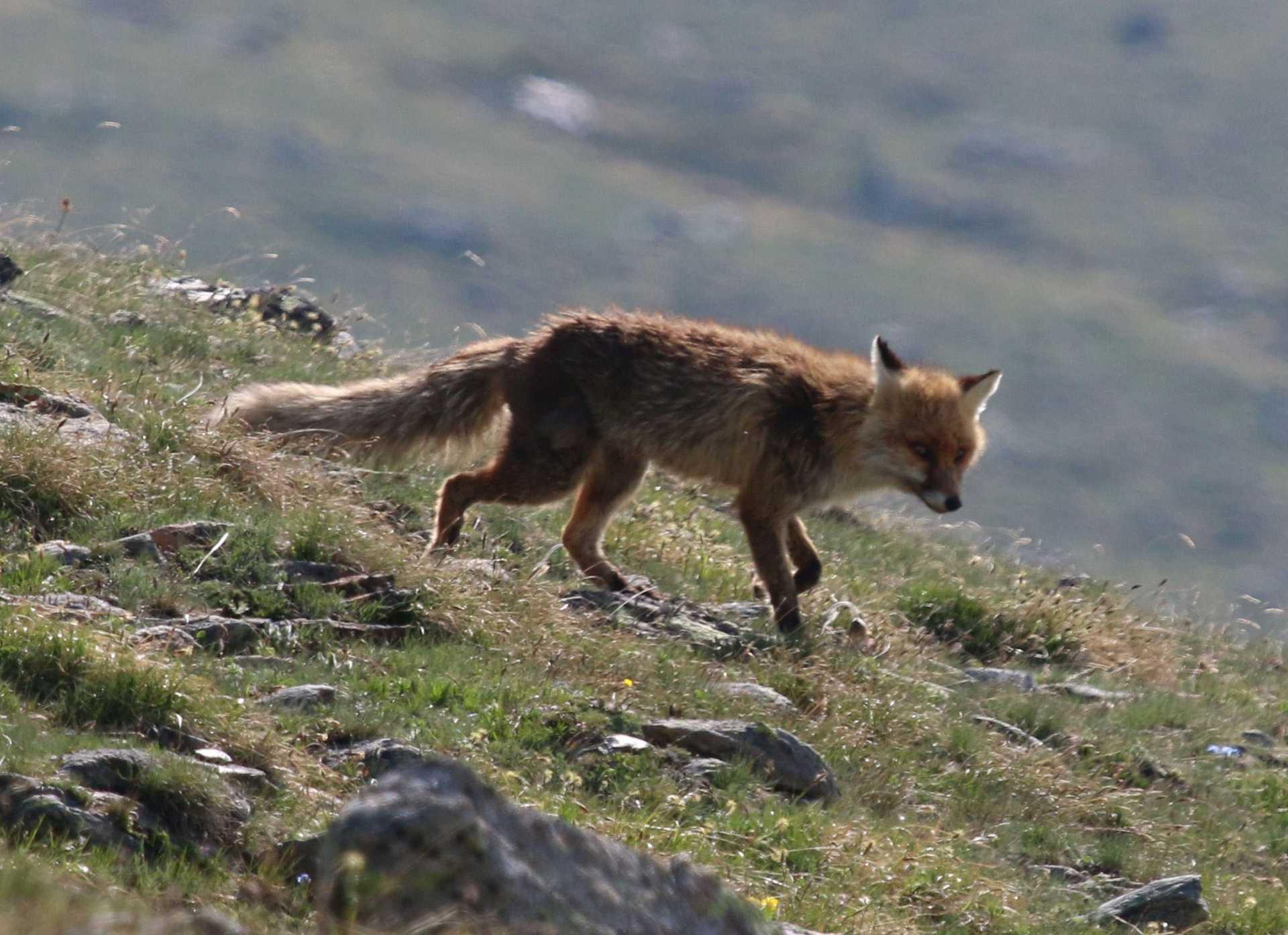 fuchsbandwurm Fuchs